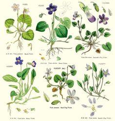 Botannical Illustration Violets