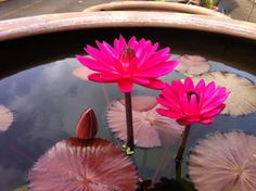 Pink Night Bloomer water lily