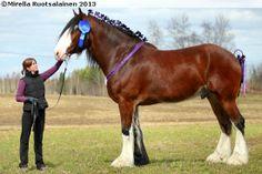 Shire - gelding Imperiets Lasso