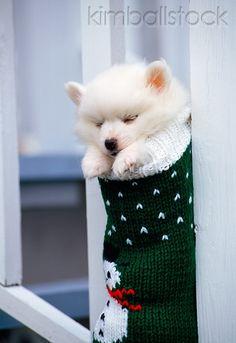 Miniature American Eskimo Puppy Sleeping In Stocking