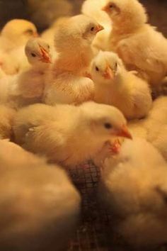 Baby chicks check out their temporary home in the Poultry and Rabbit building at the Indiana State Fair, Monday, August 13, 2012.