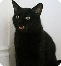 Toronto, ON - Domestic Shorthair. Meet Pez, a cat for adoption. http://www.adoptapet.com/pet/13072561-toronto-ontario-cat