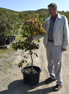 Persimmon Tree in a Container