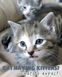 If your cat becomes pregnant, you'll need to know the stages of pregnancy, how to prepare for birth and care during and after the birth of kittens.   My Cat is Pregnant: What Can I Expect?