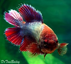 Female Natural Double Tail Betta Fish