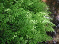 Southern Maidenhair Fern, Common Maidenhair Fern, Venus Hairfern, Venus's Hair (Adiantum capillus-veneris)