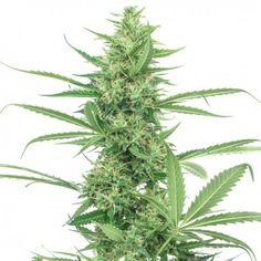 Name: PURE POWER PLANT SEEDS  Price: 10 Seeds for 18 €  Mostly Indica Link: https://www.high-supplies.com/1990.html