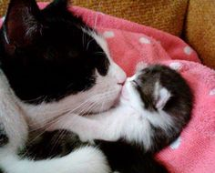 Mama cats are there from the very beginning, from nursing their kittens to teaching them how to play, stay safe, and develop their natural cat instincts. In honor of Mother's Day, here are ten videos of mama cats and their kittens. Baby Animals, Funny Animals, Cute Animals, Funniest Animals, Cute Kittens, Cats And Kittens, Fluffy Kittens, Kittens Playing, Crazy Cat Lady