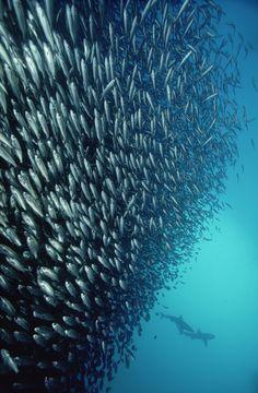 Black-striped Salemas (Xenocys jessiae) schooling, and two Galapagos Sharks (Carcharhinus galapagensis) 50 feet deep, Galapagos Islands, Ecuador.