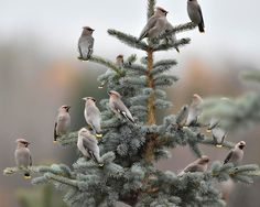 Waxwings in Hamina Beautiful Birds, Animals Beautiful, Cute Animals, Winter Scenes, Bird Watching, My Animal, Nature Photos, Mother Earth, Beautiful Creatures