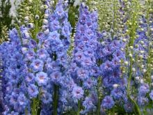 Blue Lace New Millenium Delphiniums are bred to be tolerant of high heat and humidity. Just what I need.