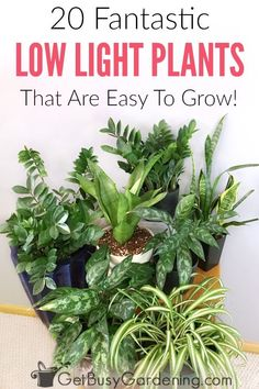 There's no such thing as plants that grow in the dark, but there are plenty of plants that can grow indoors with little light. In fact, some of the most popular indoor plants for sale are low maintenance, low light indoor plants. Here is a list of the bes Indoor Plants Low Light, Best Indoor Plants, Outdoor Plants, Best Indoor Trees, Outdoor Areas, Indoor Vegetable Gardening, Starting A Vegetable Garden, Garden Plants, Organic Gardening