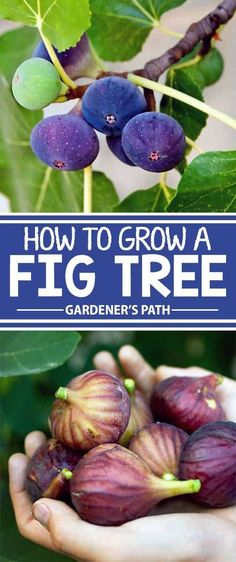 Looking for a large and fruitful tree for your landscape Consider the fig an easy to grow tall and wide specimen that rewards little attention with bushels of sweet fat a. Fruit Garden, Edible Garden, Easy Garden, Organic Vegetables, Growing Vegetables, Container Vegetables, Fall Vegetables, Growing Fruit Trees, Plantas Bonsai