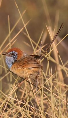 Maluro coronirrufo - Rufous-crowned Emuwren - Rotscheitel-Borstenschwanz - Queue-de-gaze à calotte rousse