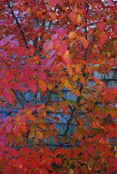 Stewartia_koreana_fall Garden Trees, Garden Plants, Foreplay, Landscaping, Gardening, Fall, Painting, Inspiration, Autumn