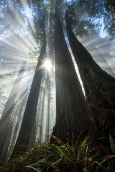 Forest Primeval - An amazing display of sunbeams through fog, Del Norte Coast Redwoods State Park, USA.