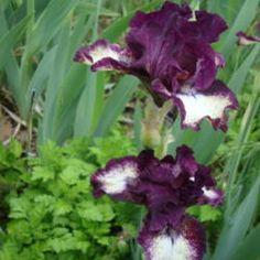 IB Iris Spectator