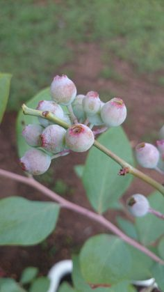 10 Tips for Growing Blueberries in South Africa