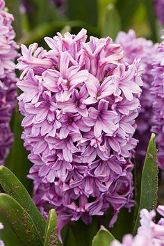 Hyacinth 'Purple Voice'