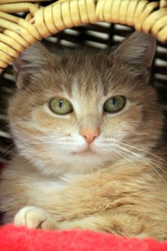 Wilma is an adoptable Orange Tabby located in Sheridan, WY! She's available through Sheridan Dog & Cat Shelter Inc.! Check out her page for more details!