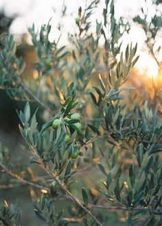 dustjacketattic: olive groves | by feather & stone