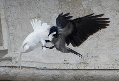 A black crow attacks one of the Pope's white doves.