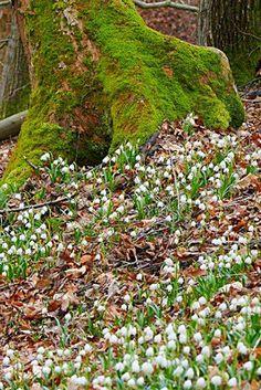 Waldboden mit Märzenbecher bedeckt