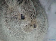 pygmy rabbit face