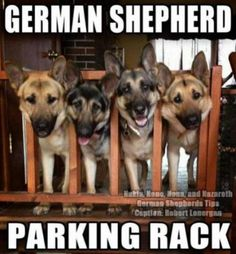 German shepherds are great working dogs, often used by the Police and the Military. But despite their serious appearance, they can also be a lot of fun. Take a look at these 16 funny German shepherd memes and try not to laugh! German Shepherd Memes, German Shepherd Puppies, German Shepherds, Cute Funny Dogs, Funny Dog Memes, Hilarious Sayings, Dog Humor, 9gag Funny, Memes Humor