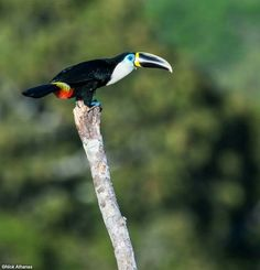 Channeled-billed Toucan