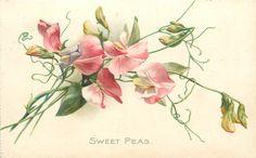 Pink sweet peas by Catherine Klein ~ 1908.