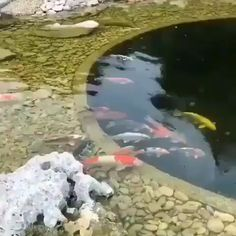 Their spectacular colors and patterns are part of the reason that koi fish are loved today and treasured by their owners. Colors of a koi fish should be bright. Fish Pond Gardens, Koi Fish Pond, Koi Ponds, Small Water Gardens, Fish Garden, Garden Pond, Backyard Water Feature, Ponds Backyard, Outdoor Fish Ponds