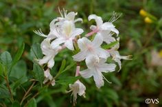 Heavenly Scent! Western Azalea/Rhododendron occidentale   California Flora Nursery
