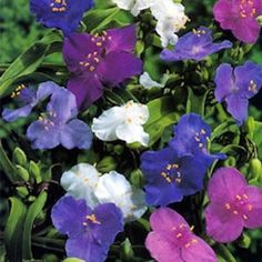 Zone 5 Perennials Longest Blooms | Shimmer Mixed spiderwort seeds - 1.5 foot tall perennial with grassy ...