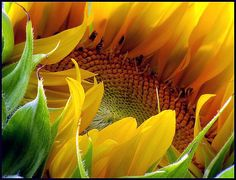 "harvestheart: "" Sunflower - ""Within"" Photo by Patsy Dunn "" Close Up Photography, Floral Photography, Macro Photography, Heart Photography, Happy Flowers, All Flowers, Beautiful Gardens, Beautiful Flowers, Bonsai"