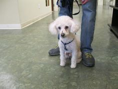 Buddy is a sweet three year old Poodle mix just adopted from the RISPCA. He is an adorable and lucky little fella- ready for a happy new life!