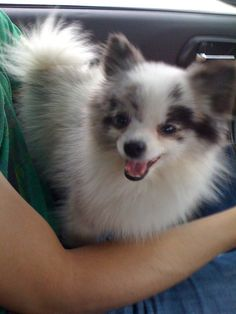 pictures of pomeranians | Possibly one of the rarest combinations, this Pomeranian is double ...