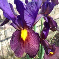 Iris in my garden.