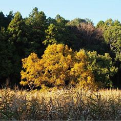 【mashas333】さんのInstagramをピンしています。 《葦原のクヌギ The oak with reeds * * * * #くぬぎ #クヌギ #紅葉 #森 #葦 #はなまっぷ #写真好きな人と繋がりたい #naturegram #naturelovers #oak #reeds #autumnleaves #autumntrees #landscape #scenery #ig_japan #ig_nature #bluesky》
