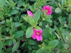 Noa Mega Pink Calibrachoa