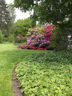 Einblick in Sommerbeete - Waldsteinia und Rhododendren rahmen die Rasenfläche