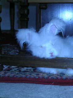 "angora rabbit ""the Princess"""