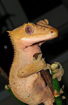 rhacodactylus ciliatus by geart1, via Flickr