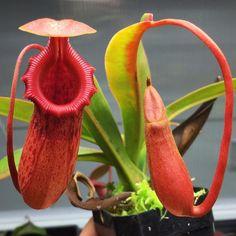 Nepenthes (ventricosa x sibuyanensis) x Sabre Dark Cherry #divideandculture #carnivorousplants #plants #pitcherplant #nepenthes by divideandculture
