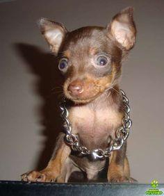 Olx venda de cachorro em brasilia