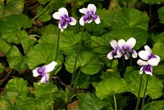 Australian native violet (viola banksii). Until recently the commonly grown native violet was referred to as Viola hederacea. However, research has shown that the commonly grown plant is different to the true V.hederacea. V.banksii was originally collected by Joseph Banks and Daniel Solander at Botany Bay in 1770.