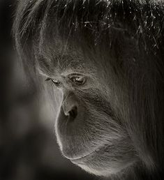 ✯ Orangutan Beautiful Expression .. Photo by Natalie13 on redbubble✯