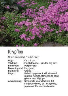 #vår #sommar #marktäckare Phlox stolonifera - Krypflox Magnolia, Plants, Magnolias, Plant, Planting, Planets