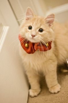 What a gorgeous sweetie!  From previous pinner: My kitten's 1st Christmas
