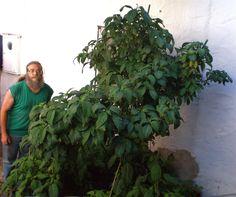 Guia pa' el cultivador de la Salvia Divinorum (completa)